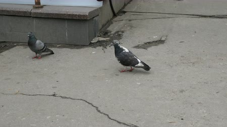 chodnik : Gray-black birds pigeons and clean feathers. Urban scene. Wideo