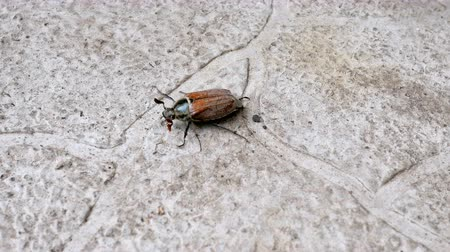 Brown beetle-insect crawling on paving slabs outdoors. Close-up. Stock mozgókép