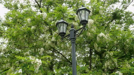 akacja : Blooming locust tree. Flowers in the park. Beautiful spring landscape. Street light.