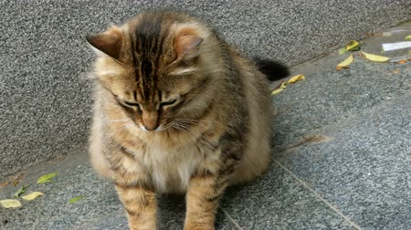 undomesticated cat : Brown color sits on a stone surface.