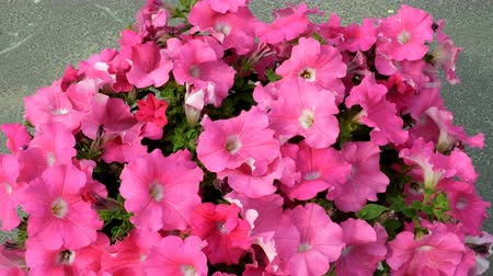 tremble : Outdoors flower pot with pink petunia flowers. Petals tremble in the wind. Beautiful floral static background.