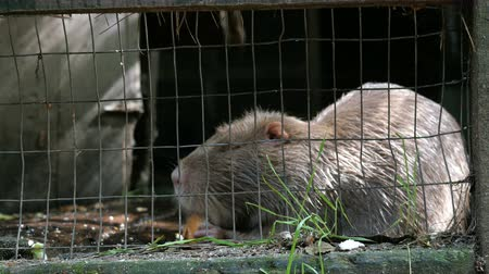 myocastor : Shaggy gray coypu in a cage eats its food or delicacy. Close-up.