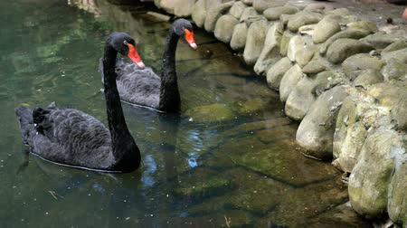 zwarte zwaan : Two beautiful black swans swim in a calm decorative pond together. Outdoors Stockvideo
