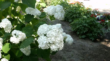 hortênsia : Blooming bush of white hydrangea (Hortensia) flowers in park, in full bloom.