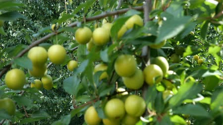 świeżość : Tree branch with fruits. Abundant immature fruits cherry plum green colors on the branches of a tree swaying in the wind in the garden on sunny day. Selective focus. Close-up.