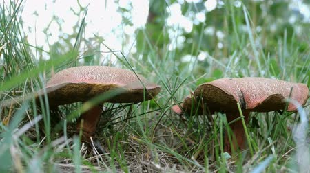 porcini mushrooms : Edible mushrooms with brown hat, Leccinum scabrum, grow in grass in natural environment. Selective focus.