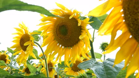 oposto : Blooming sunflowers field at bright sunny summer day with the sun bright backlight. Agricultural flower background. Stock Footage