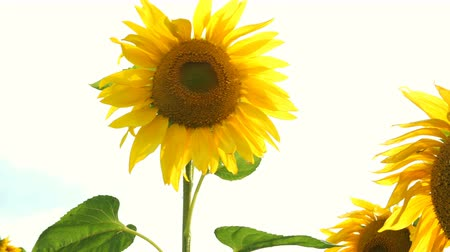 opposite : Blooming sunflowers field at bright sunny summer day with the sun bright backlight. Agricultural flower background. Stock Footage