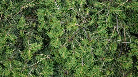 conifère : Evergreen conifer. Abstract background of pine or fir branches. With needles. Close-up. Selective focus.