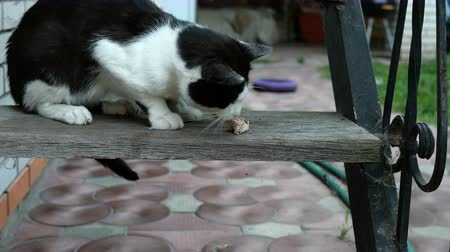 csavargó : Hungry domestic or homeless black-and-white cat, with an appetite, eats a piece of meat or other prey on the steps in the backyard.