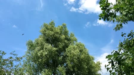 exited : Tree with lush foliage sways in the wind. Birds fly beside to the tree. Floating clouds. Stock Footage