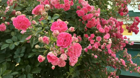jardins : Bush of beautiful pink roses sways in the wind in yard on flower bed. Close-up.