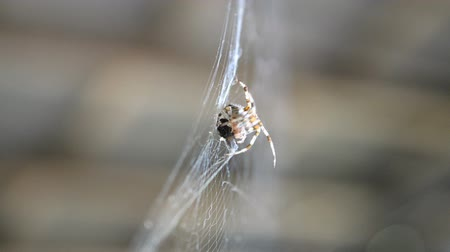 arachnophobia : Spider hangs on a web and eats prey caught by it. This is a fly that is tangled in its web. Selective focus. Close-up. Stock Footage