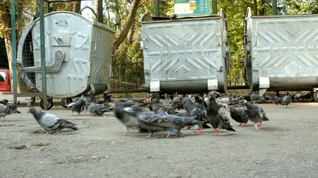 Gray wild pigeons walk on sidewalk in city by garbage cans, look for, collect and find food for themselves. The life of wild birds in city. Outdoors. Close-up.