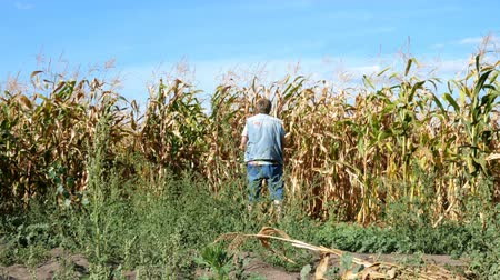 Senior man in casual clothes urinates, standing rear near field of ripened corn. Then he turns, fastens his fly and leaves. Overall plan. Outdoors.