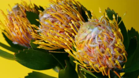 lasting : Bouquet of three Leucospermum flowers (Leucospermum cordifolium) with green leaves on a yellow background. Swinging in wind. Selective focus. Close-up. Stock Footage