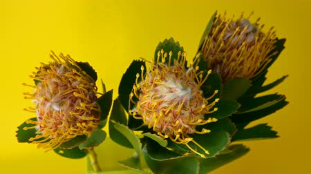 lasting : Bouquet of three Leucospermum flowers (Leucospermum cordifolium) with green leaves on a yellow background. In blinking light. Selective focus. Close-up.