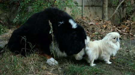 cheirando : Big black dog Bernese Mountain Dog with interest sniffs and licks under the tail of small white pekingese dog. Close-up.