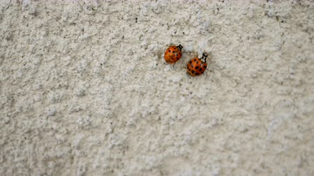 katicabogár : Two ladybugs, red in black spot, crawl on plastered concrete wall. Insects, environment. Selective focus. Close-up.