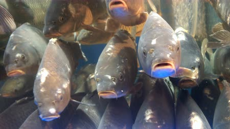crucian : Many of live fish carp, swims in the aquarium on market for sale.