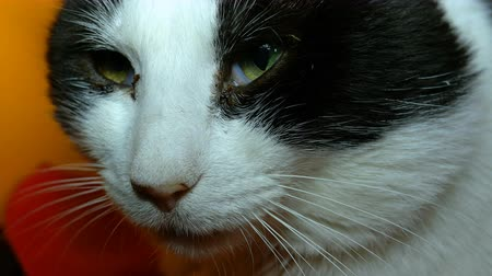 Head, eyes and whisker of black and white cat, which twists its head and looks around with green eyes. Close-up portrait.