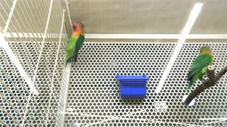 Lovebirds agapornis together in a cage in a pet store or at home. Medium plan.