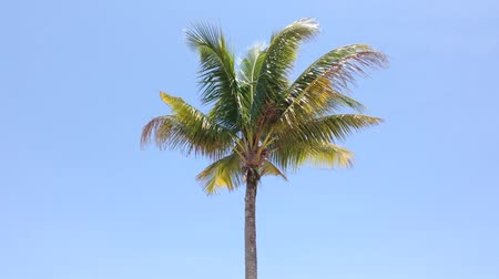 coconut palm tree : Coconut tree under blue sky with copyspace area, loop