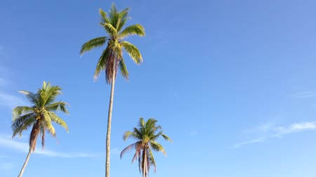 coconut palm tree : Coconut trees under blue sky with copyspace area, loop