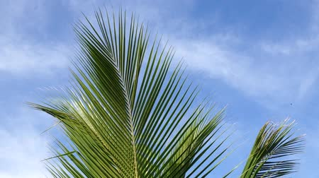 coconut palm tree : Coconut Tree Midrib Leaves Under Blue Sky And Morning Sun With Copy Space Area, loop