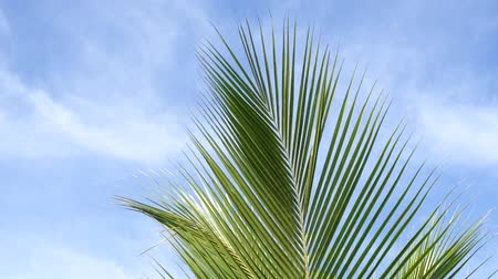 sen : Coconut Tree Midrib Leaves Under Blue Sky And Morning Sun With Copy Space Area, loop