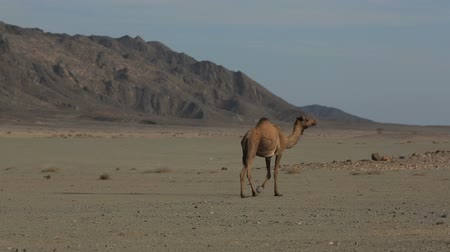 camelo : Camel in the desert Stock Footage