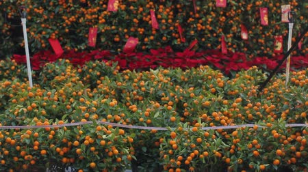 fruitful : Oranges fruits at tangerine trees, chinese new year