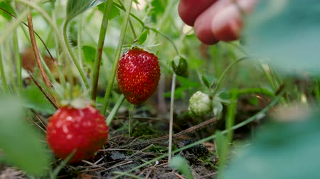 segurelha : Female hand picks a red ripe strawberry from the stem. Delicious ripe organic strawberries on the bush in the garden. Natural rural product, tasty fruit.