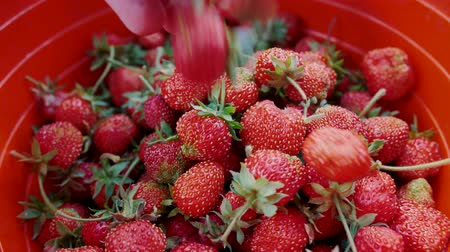 Delicious berries are poured into a basket. Red ripe strawberries falling into a bucket. Natural product, healthy rural organic harvest in the garden slow motion. Stock mozgókép