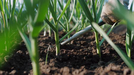 садовник : Farmer hoeing soil on garden bed of green onions and garlic. Manually ploughing of plantation of soil. Organic farm, agriculture sector, close up, slow motion
