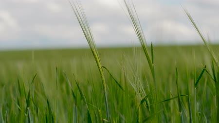 Green ears of rye sway in the wind. The growing green wheat field. Agricultural land with crops. Stock mozgókép