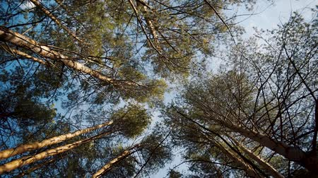 Rotating perspective shot of high tree tops towering above. A view to pine forest from the ground with clear sky as backdrop. Slow motion.