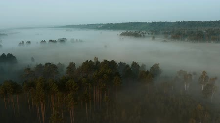woodland : Flying over treetops of pine forest to the meadow in the early foggy morning. Aerial view of misty pine forest and meadow at sunrise. Nature woods landscape. Stock Footage