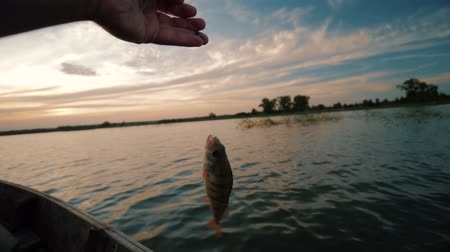 armadilha : Caught fish dangles on a hook suspended on a fishing line. Fisherman caught perch fish in the lake or river. Fish hanging on a hook in a background of lake and sunset.