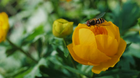 zumbido : Bee pollinates a yellow flower in garden. Small bee collect flower dust. Slow motion.