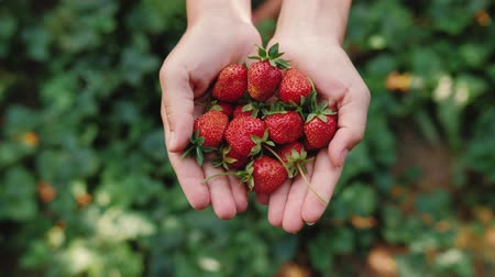 eper : Close up of young female hands with a handful of ripe strawberries. Healthy rural organic harvest in the garden. Woman hands holding ripe juicy strawberries.