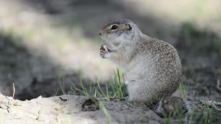 préri : Gopher eating hazelnut