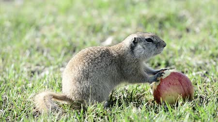 anima : Gopher eating apple Stock Footage