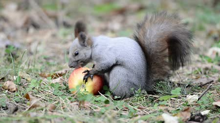 белка : Squirrel eating an apple
