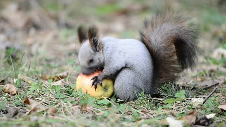 red rodent : Squirrel eating an apple, picks it up and takes away Stock Footage