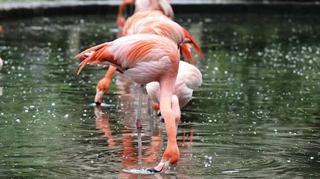 chilean flamingo : Red and Chilean flamingo in Prague zoo Stock Footage
