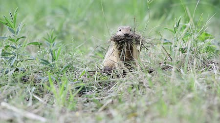 préri : Gopher collects hay to insulation of his hole