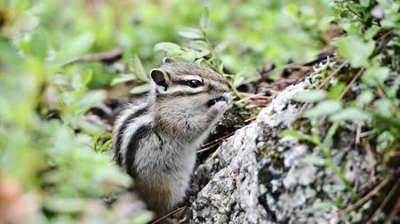 sciuridae : Siberian chipmunk Tamias sibiricus with a blueberry Stock Footage