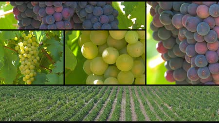 winnica : Grapes montage. Vineyards Golden beam. Ukraine, Crimea, Sevastopol. Wideo