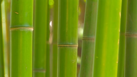 bambusz : Bamboo grove, medium shot. Stock mozgókép